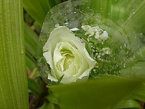 White rose231.JPG