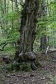 Wien-Hietzing - Naturdenkmal 478 - Urwald am Johannser Kogel I.jpg