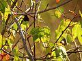 Wild Cotton - Flickr - treegrow (12).jpg