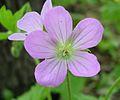 Wild Geranium, Spotted Geranium (Geranium maculatum) - Flickr - Jay Sturner.jpg