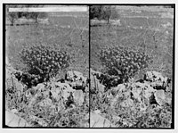 Wild flowers of Palestine. Spurge bush (Euphorbia thamnoides Boiss.). LOC matpc.02427.jpg