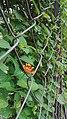Wild orchid under fence.jpg