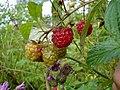 Wild raspberri.jpg