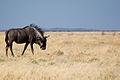 Wildebeeste (3688065376).jpg