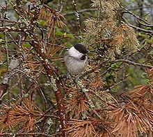 Willow Tit.jpg