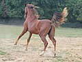 Willowbank Farm- Saddlebred Filly having a good romp in her pasture.. (8082466841).jpg