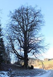 Winterlinde St Gandolf.jpg