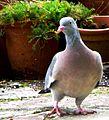 Wood Pigeon (8972466277).jpg