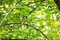 Wood thrush (26863946240).jpg