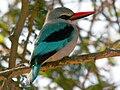 Woodland Kingfisher ( Halcyon senegalensis) RWD.jpg