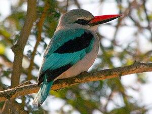 Woodland kingfisher - Woodland kingfisher, Tanzania