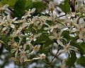 Wrightia tinctoria flowers in Keesaraguda, AP W2 IMG 9109.jpg