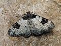 Xanthorhoe fluctuata - Garden carpet - Ларенция обыкновенная (40960003891).jpg