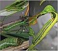 Xestia brunneopicta larva various instars.jpg