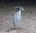 Yellow-crowned Night Heron Nyctanassa violacea - Flickr - gailhampshire.jpg