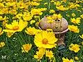 Yellow Coreopsis - Flickr - Swallowtail Garden Seeds.jpg