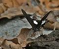 Yellow Helen Papilio nephelus at Jayanti, Duars, West Bengal W IMG 5404.jpg