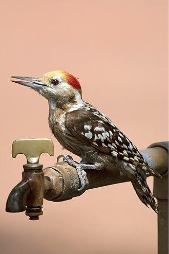Yellow-crowned woodpecker - Male at Tadoba Andhari Tiger Project