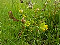 Yellow rattle flowers and seed.jpg