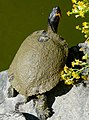 Yellowbelly Slider (Trachemys scripta scripta) (Captive specimen) (45054195822).jpg