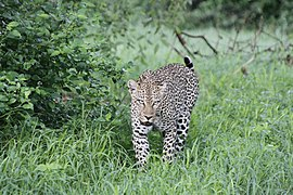 Young Leopard going for an early hunt.jpg