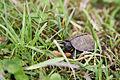 Young bog turtle (18744007741).jpg