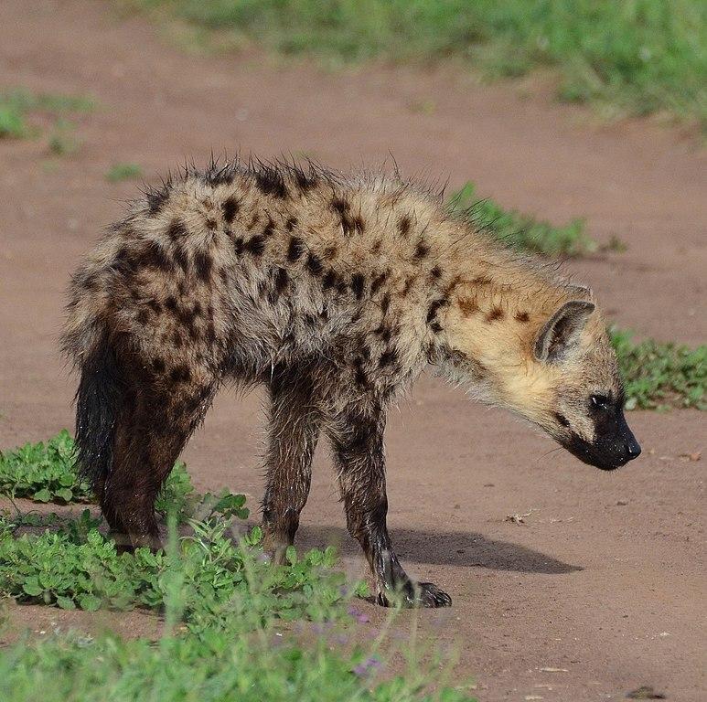 File:Young spotted hyena, Serengeti, Tanzania.jpg - Wikimedia Commons