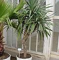 Yucca-aolifolia01.jpg