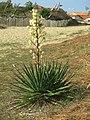 Yucca filamentosa (Capbreton).jpg