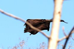 'Indian Giant Flying Squirrel Dahod.jpg