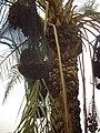 'Palm date harvesting(Jericho)'.jpg