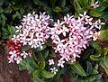 (Ixora coccinea) dwarf flowers at Shivaji park 02.JPG