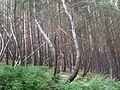 Árboles inclinados, Parque natural de Vitosha, Bulgaria, 2011.JPG