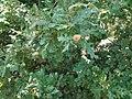 Δένδρα όρους Βερμίου.jpg