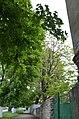 Бундук канадський у Кам'янець-Подільському. Фото 1.jpg
