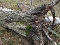 Грибы и лишайнике на стволе упавшего дерева 1.jpg