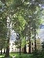 Група вікових дерев тополі білої 22.JPG