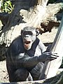 Николаевский зоопарк. Шимпанзе. - panoramio.jpg