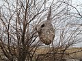 Петропавлівські лимани. Гніздо ремеза 2.JPG