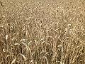 Пшениця дозріла.jpg