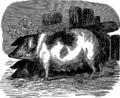 Свинья (БЭАН).png