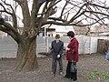 Старовинна груша на Карнаватці 24.jpg