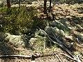 Чагарничково-трав'яний ярус молодого соснового насадження в заказнику Полігон.jpg