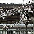 吉野口駅の桜の木 Cherry tree in Yoshinoguchi sta. 2012.4.07 - panoramio.jpg