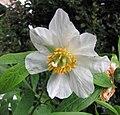 多花芍藥 Paeonia emodi -比利時 Leuven Botanical Garden, Belgium- (9227078653).jpg