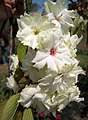 大花唐棣 Amelanchier × grandiflora 'Princess Diana' -上海辰山植物園 Shanghai Chenshan Botanical Garden- (17077289459).jpg