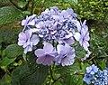 山繡球-早安 Hydrangea 'おはよう' -日本廣島縮景園 Hiroshima Shukkeien Garden, Japan- (35792778755).jpg