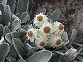 擬蠟菊屬 Helichrysum sibthorpii -倫敦植物園 Kew Gardens, London- (9226995879).jpg