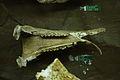 无角犀 Aceratherium 1.jpg
