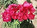 日本牡丹-今猩猩 Paeonia suffruticosa Imashojo -日本大阪長居植物園 Osaka Nagai Botanical Garden, Japan- (41663527964).jpg